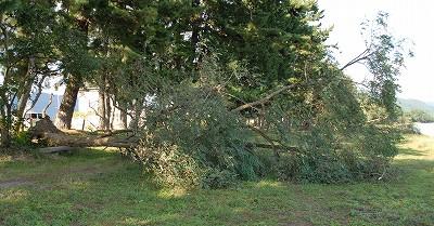 ニセアカシアの倒木