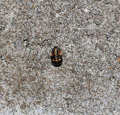 テントウムシの蛹(サナギ)