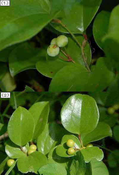 サルトリイバラの果実
