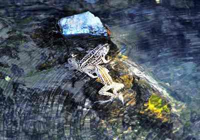 清流にトノサマガエル