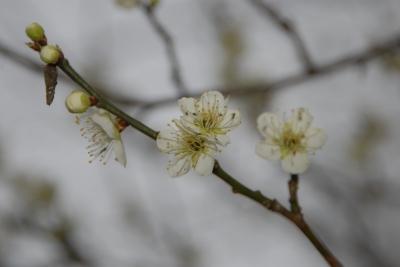 ウメの開花