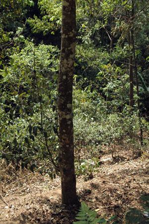 南糯山の大きな茶樹