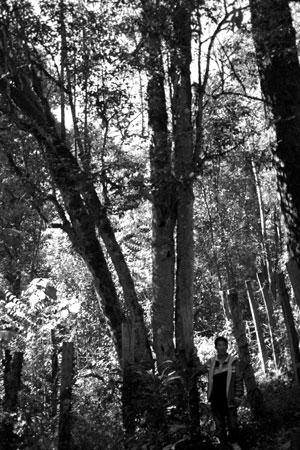巴達大黒山茶王樹