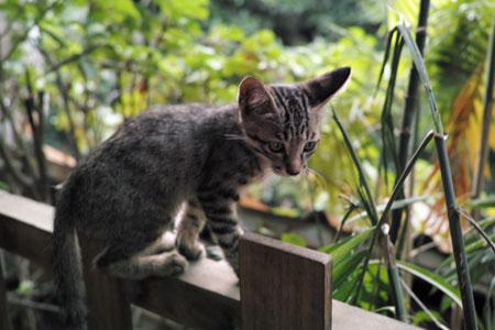 西双版納の猫