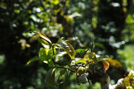 西双版納古茶樹
