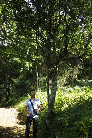 小葉種の古茶樹