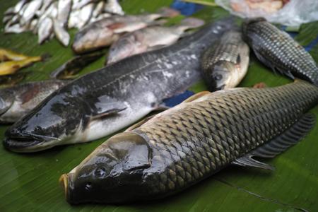 西双版納の鯉と鯰