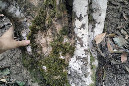 布朗族の茶山の茶樹