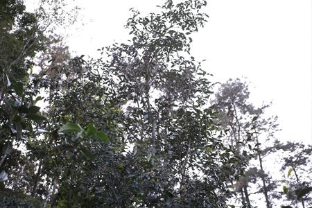 易武山古茶樹