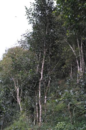 易武山老街野放古茶樹