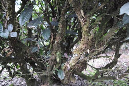 巴達山賀松寨生態茶園