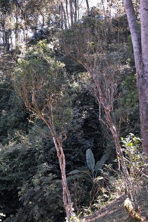一扇磨の野生茶樹