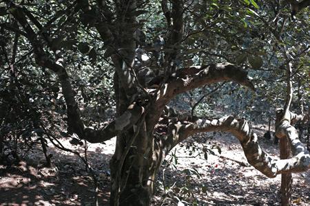 南糯山の古茶樹