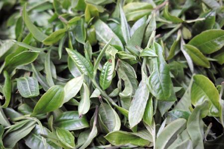 巴達山の春の古茶樹の茶葉