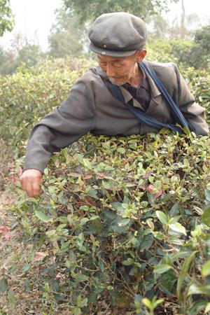 易武春風青餅2011年