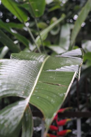 チェンマイ雨バナナの葉