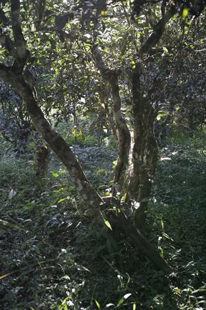 布朗族の古茶樹