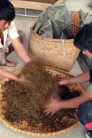 軽発酵後の雲南紅茶