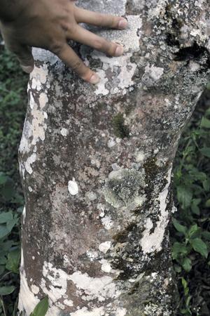 章朗寨古茶樹