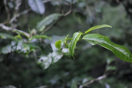 森の古茶樹の茶葉