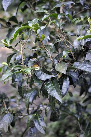 古茶樹の茶葉