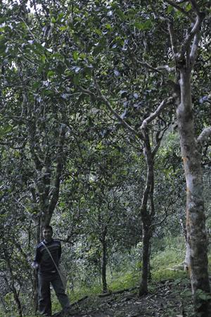 巴達山古茶樹