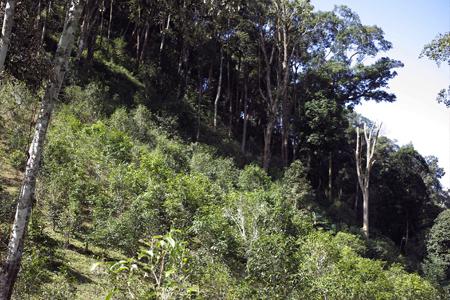 一扇磨の小茶樹の農地