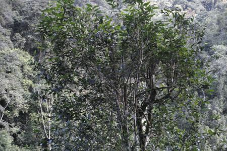 一扇磨単樹