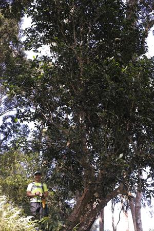 一扇磨の単樹のお茶