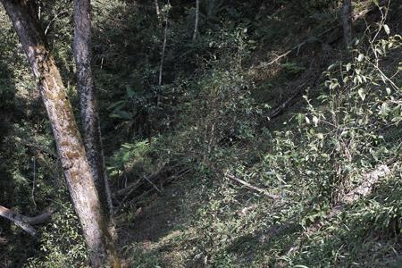 香椿林古茶樹上