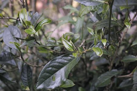 香椿林の古茶樹