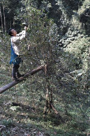 香椿林の茶摘み