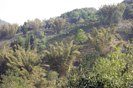 巴達山賀松の茶畑