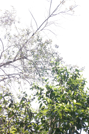 古茶樹の上