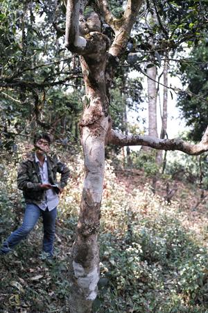 古茶樹の下