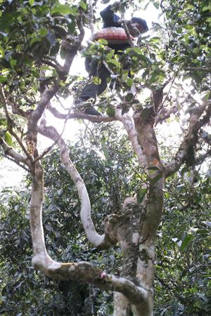古茶樹の上で茶摘するおじさん