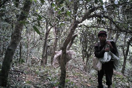 章朗寨の森の古茶樹