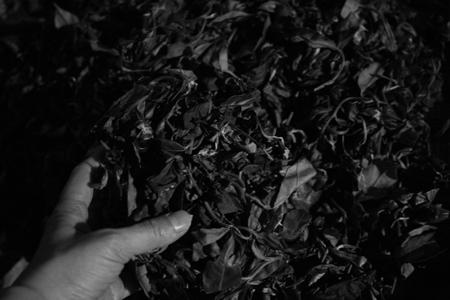 揉捻の茶葉