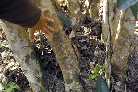 古茶樹の幹