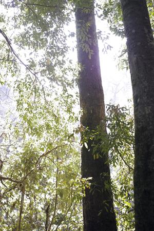 香椿林の森