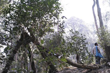 香椿林の茶樹