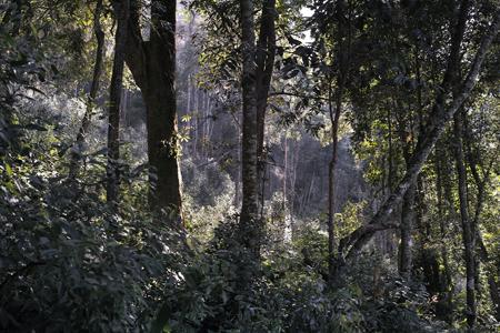 張家湾茶樹