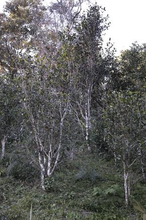 張家湾古茶樹