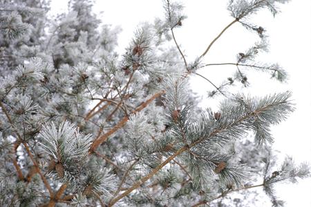 赤松の葉と雪