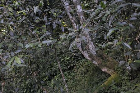 刮風寨茶坪の茶王樹