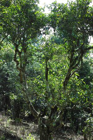 古茶樹の周りにも除草剤