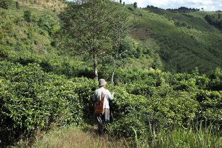 巴達山の茶園