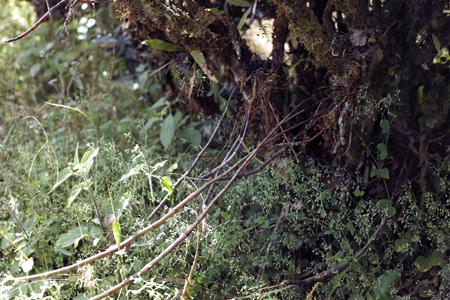 茶樹の寄生植物