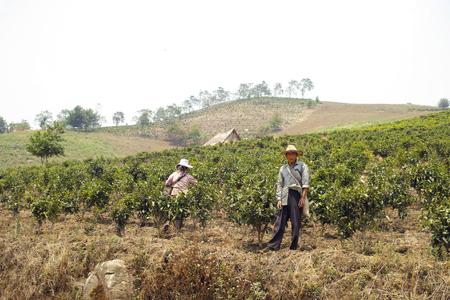 化学薬品が使われる茶畑