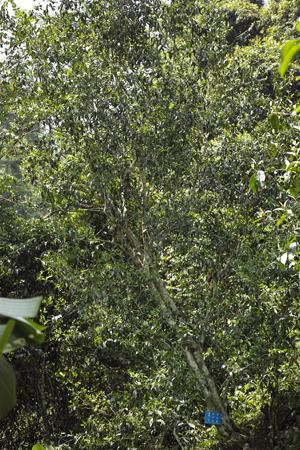 刮風寨単樹1号